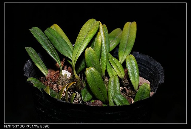 毛药卷瓣兰 Bulbophyllum omerandrum