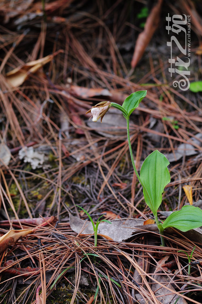 Cypripedium plectrochilum 离萼杓兰