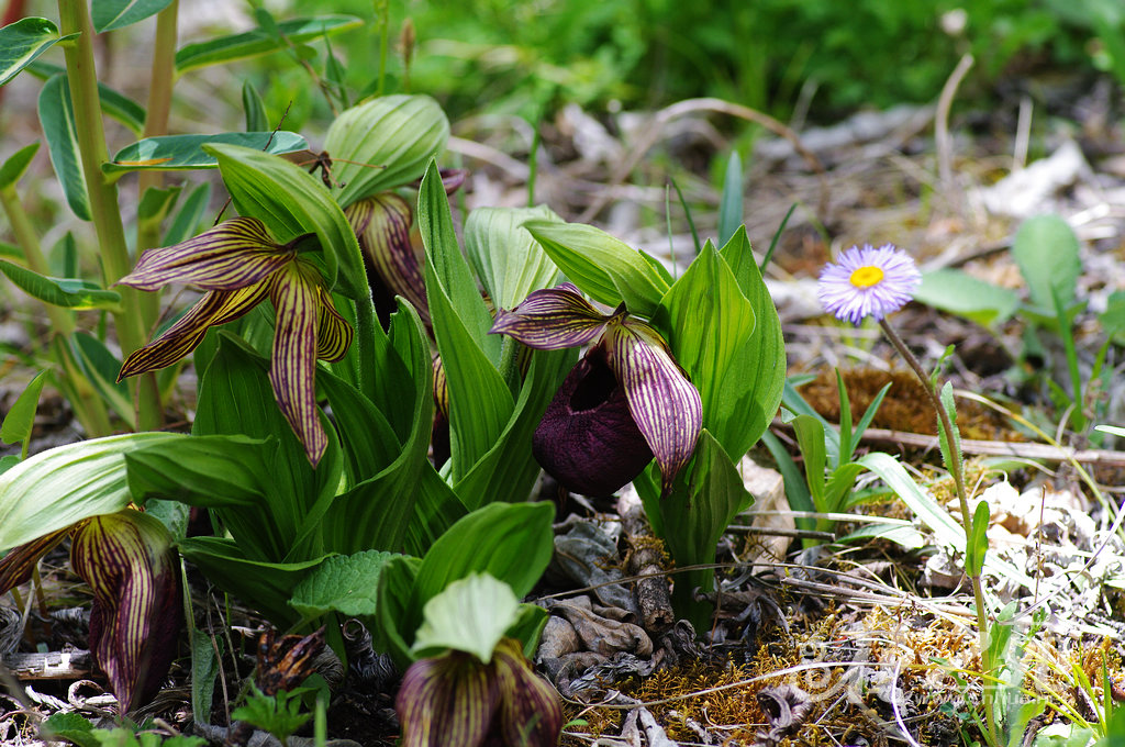 Cypripedium tibeticum 西藏杓兰