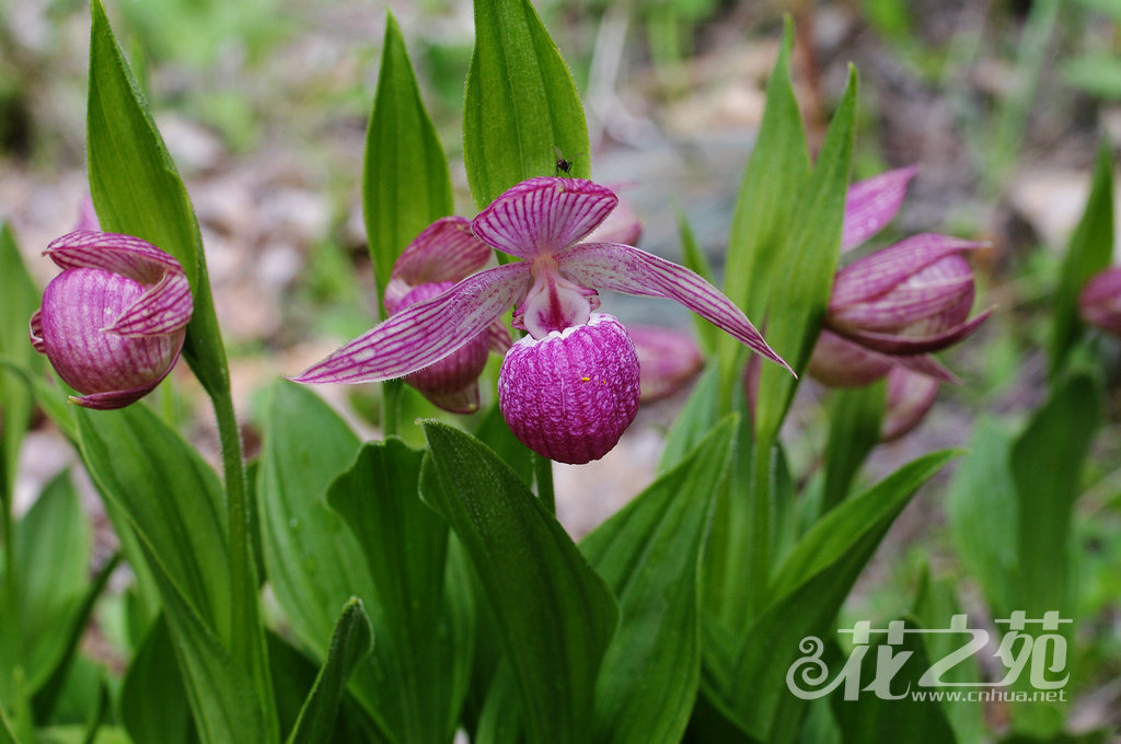 Cypripedium yunnanense 云南杓兰