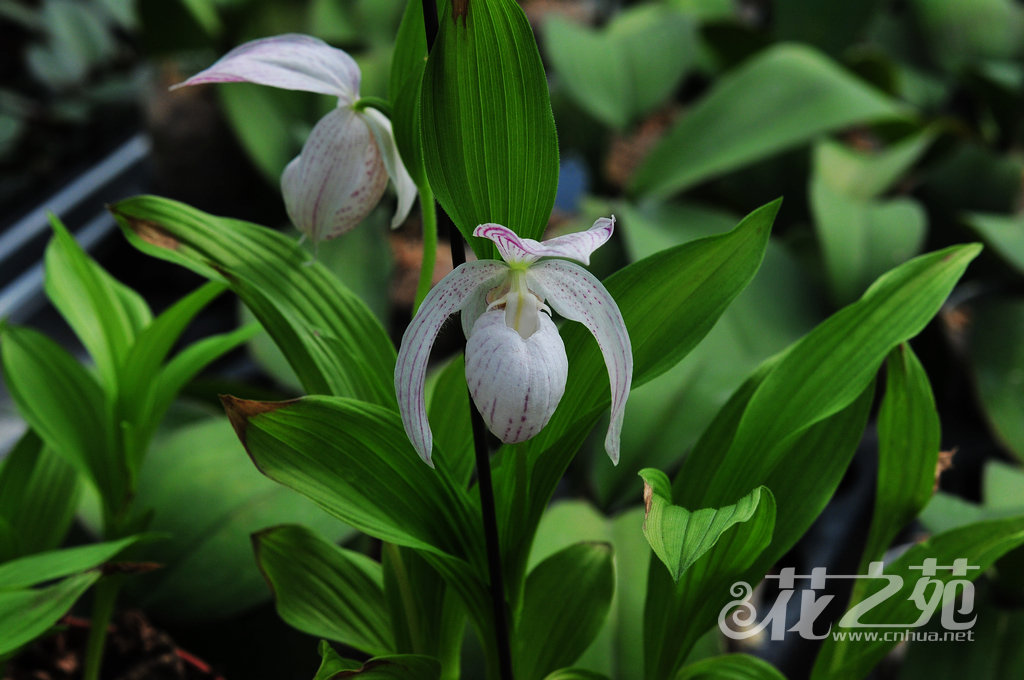 大花杓兰 Cypripedium macranthos