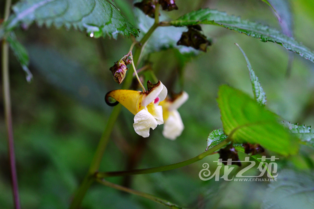 扭萼凤仙花 Impatiens tortisepala