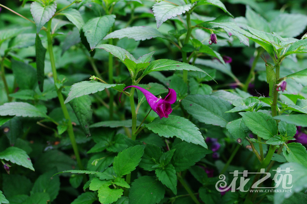 鸭跖草状凤仙花 Impatiens commelinoides