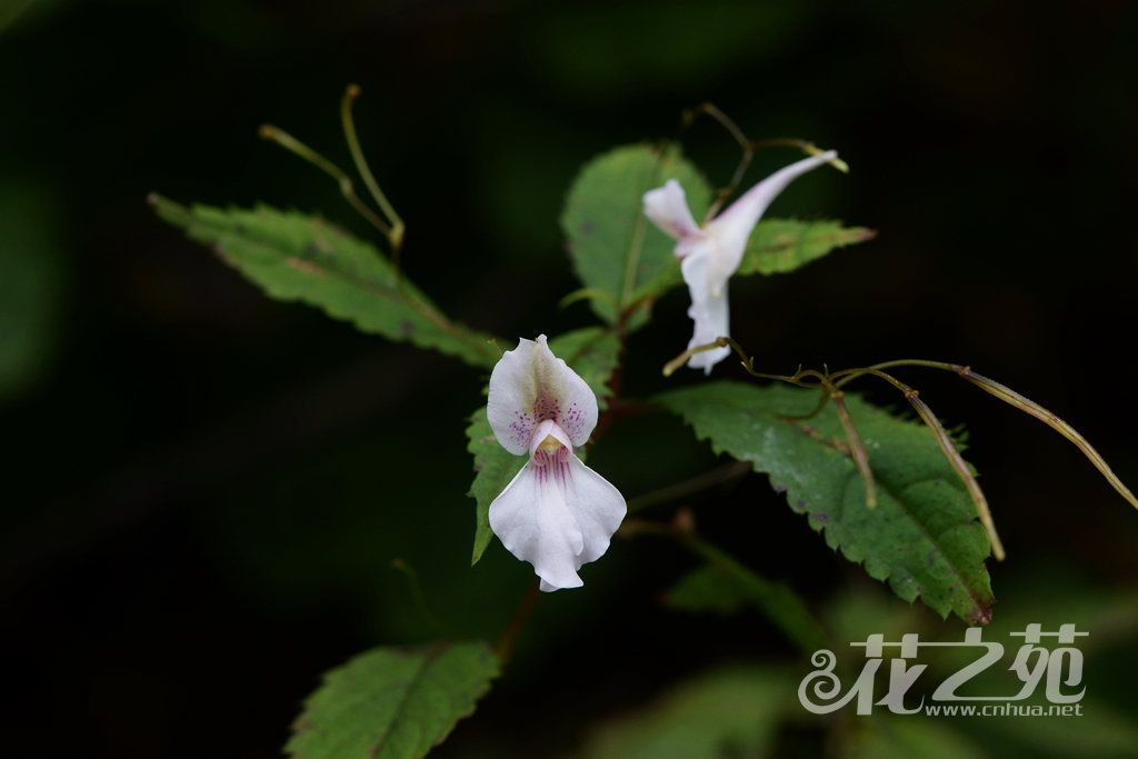 侧穗凤仙花 Impatiens lateristachys